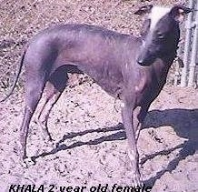 A Hairless Khala is standing in dirt looking to the left. The words - Khala 2 year old female - are overlayed