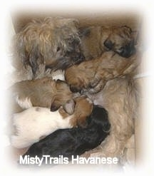 Close up - Five little puppies are nursing from their mother dog.