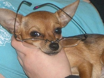 A toy dog is being held against a person and it is also wearing a pair of reading glasses