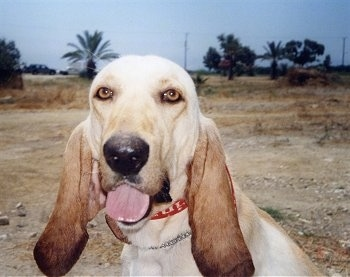 Close up head shot - A tan large hound dog is sitting in dirt, it is looking forward, its mouth is open and tongue is out. It has golden brown eyes and ears that are darker in color and set very low on the head.