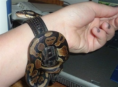 A baby ball python is beginning to wrap itself around a persons arm.