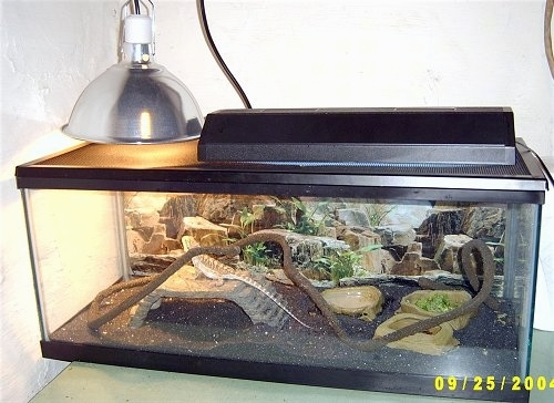 A Bearded Dragon is standing on a rock bridge inside of a glass cage. It is looking up at a heated lamp.
