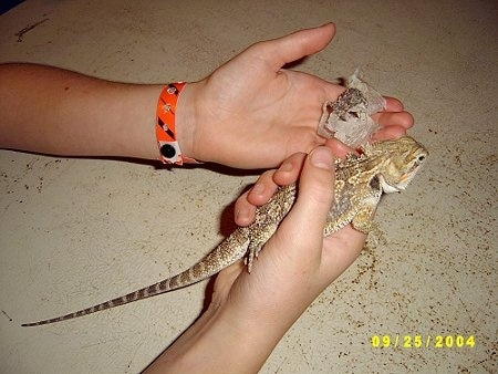 A Bearded Dragon is being held by a person in there right hand and in their left hand is the skin the bearded dragon has shed.