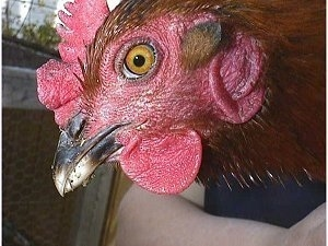 Close up side view head shot - The red face of a hen that is being held in the air by a person.
