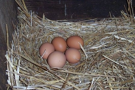 Five Fresh Eggs laying in a nest in the corner of a hay holder.