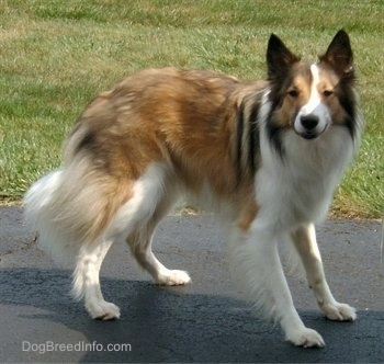 A long coated brown and white with black Farm Collie is standing on a blacktop surface. Its ears are perked standing upright and its nose is all black.