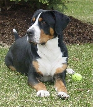 A tricolor black, tan and white Greater Swiss Mountain Dog is laying in grass looking to the left with a tennis ball next to it.