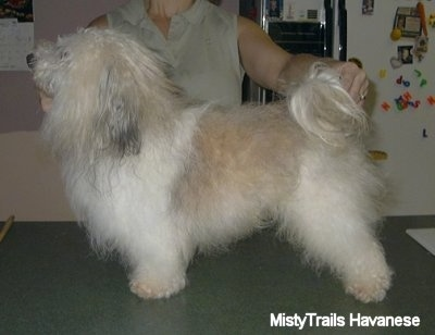 A white and tan with grey Havanese is being posed in a stack by a person behind him in a kitchen.