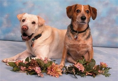 A tan Labrador/Shar-Pei mix is laying next to a sitting black with brown Beagle/Blue Heeler mix. They have a line of flowers in front of them and are in front of a sky background.