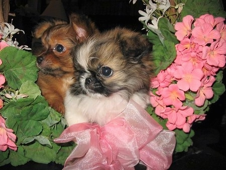 A short coat brown with black and long coat white with tan and black Mi-ki puppy are inside of a wreath of green leaves and pink flowers.