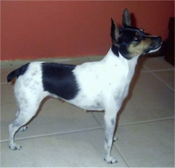 Right Profile - A tricolor white with black and tan Mini Fox Terrier is standing on a tan tiled floor in front of a red wall. Its head is up slightly.