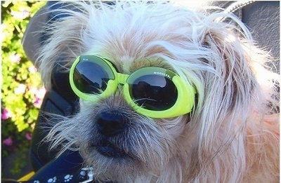 Close up head shot - A longhaired, scruffy looking, tan with white Terrier mix is sitting in the back of a motorcycle and it is looking to the left. It is wearing bright yellow sunglasses.