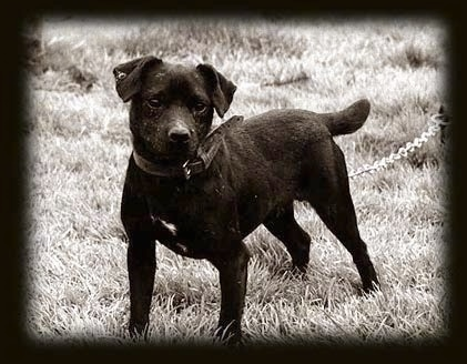 Side view - A black and white photo of a black with a tuft of white Patterdale Terrier dog standing in grass looking forward.