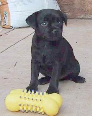 Front side view - A black Patterdale Terrier puppy is sitting on a concrete surface in front of a yellow bone toy.