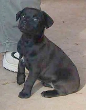 Side view - A black with a tuft of white Patterdale Terrier puppy is sitting on a concrete surface next to a persons foot and it is looking forward.
