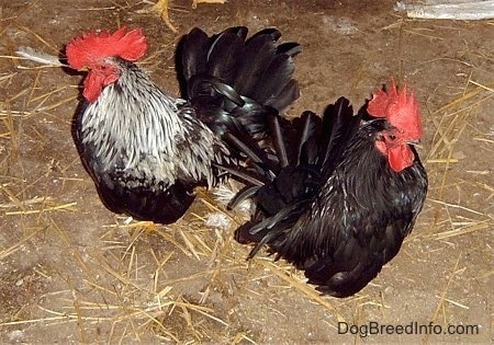 Close up - Two Banty Roosters are standing on a dirt surface on top of scattered hay.