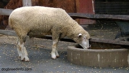 Right Profile - A Sheep is drinking water out of a well.