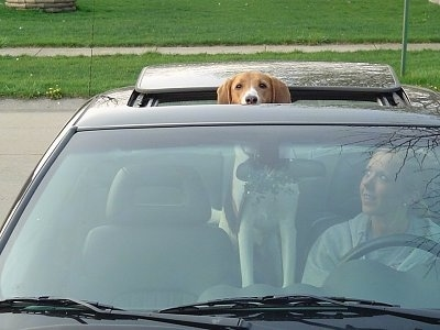 A Treeing Walker Coonhound is standing in a vehicle and it is sticking its head out of a sunroof. There is a lady sitting in the drivers seat next to it and she is looking at the dog smiling.