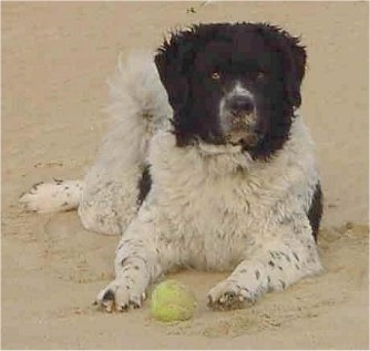 Front view - A white with black Wetterhoun is laying in sand and looking forward. There is a tennis ball in front of it. It has a thick wavy coat, a black nose and brown eyes.