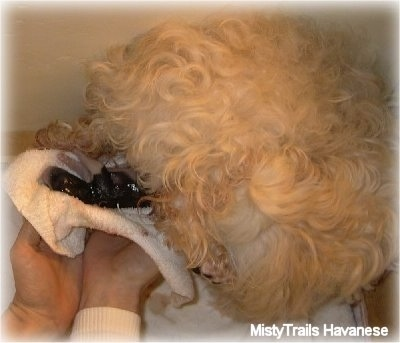 A white Havanese is giving birth to a puppy. A minutes old puppy is on a towel that a person is holding.