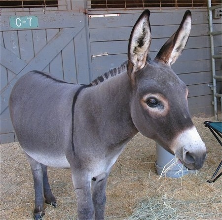 A Donkey is standing in hay and it is looking forward and eating the hay. Behind it is a wooden door with the letter and number 'C-7' on it.