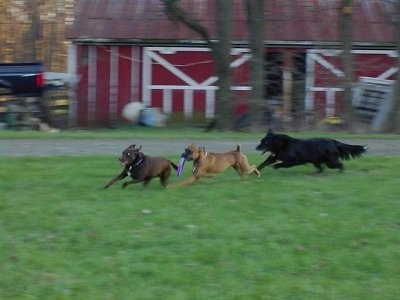Gable the Boxer is running around a field with a purple Frisbee in its mouth while being chased by two other dogs