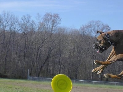 Close Up - Gable the Boxer is jumping up in a field to catch a light green Frisbee, all four of his paws are way off the ground