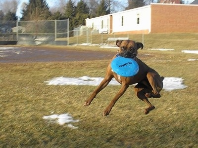 Gable the Boxer is in mid-jump up in the air in a field to catch a blue Frisbee. There is patches of snow in the background