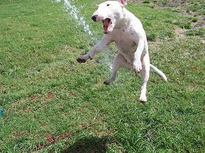 Louie the English Bull Terrier is in mid-jump to chomp at some water which is being sprayed