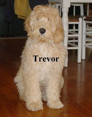 A wavy, tan Labradoodle is sitting on a cherry-colored hardwood floor and there is a white, wooden table behind it. The word - Trevor - is overlayed on top of the dog