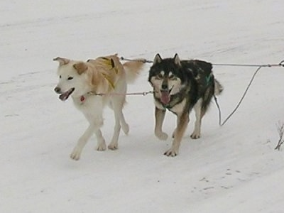 Sherwen(Left) and Tyrone(Right) the Alaskan Huskies are pulling a sled across snow