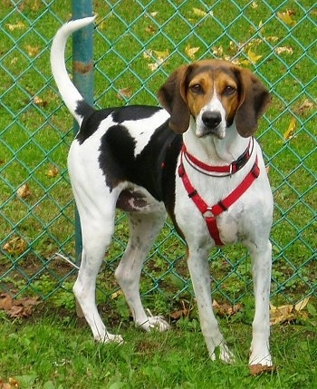 The front right side of a white with black and brown American Foxhound dog standing in grass wearing a harness in front of a chainlink fence