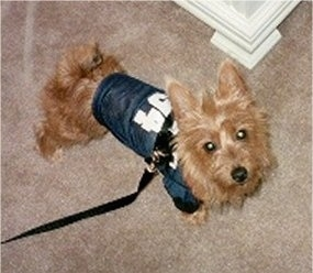 Scarlett the Australian Terrier wearing a jersey with a harness over it