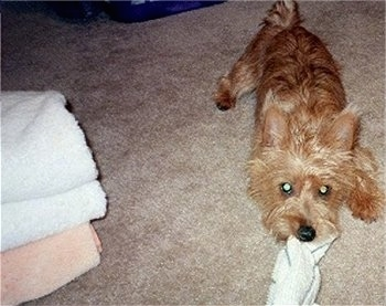 Scarlett the Australian Terrier playing tug of war on a carpet with a wash rag