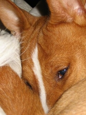 Close Up - Lucy the Basenji
