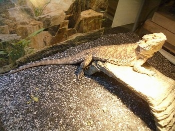 Side view - A Bearded Dragon is standing under a heat lamp on a rock bridge looking up and to the right.