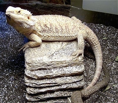 Side view - A Bearded Dragon lizard is laying on top of a rock stack and it islooking up to the left.