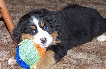 Shasta the Bernese Mountain Dog puppy laying and chewing on a plush ball toy