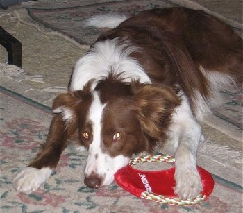Jade the Border Collie laying on a rug with its paw and face over a red cloth frisbee toy