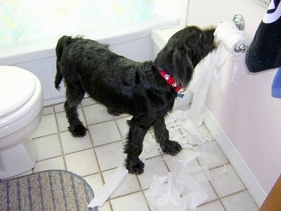 Dexter the Labradoodle puppy is chewing and unraveling toilet paper on the roll in a bathroom
