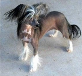 Zena the Chinese Crested hairless Powderpuff is standing on a carpet and looking to the right