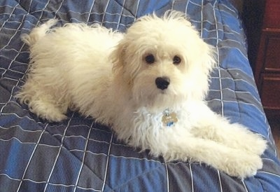 Chewy the white Cockapoo is laying up  on a human's bed on a blue comforter