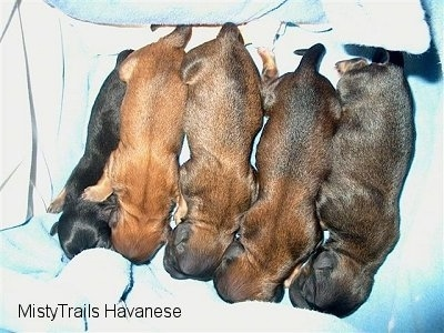 Top down view of five newborn brown and black puppies that are laying on a blanket.