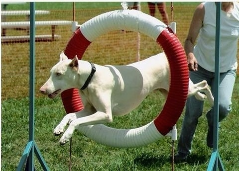 Frost the white Doberman Pinscher is jumping through a circular tube and there is a lady running behind him as he jumps