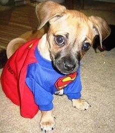 Close Up - Nibbler the tan and black Puggle puppy is wearing a superman costume and sitting on a tan rug