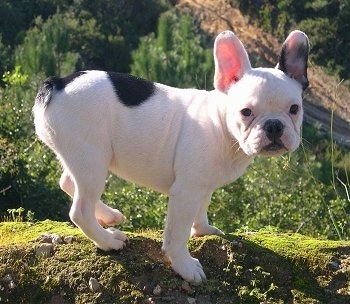 A white with black French Bulldog is standing on a mossy log