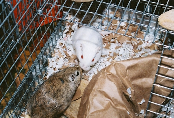 A white dove Gerbil and A classic brown Gerbil are meeting face to face in a cage.