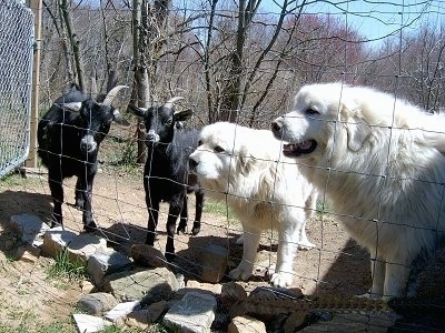 Great Pyrenees - Tundra and Tacoma standing behind a fence with goats