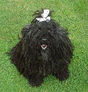 Top down view of a black Puli that is sitting in grass. It is wearing a white ribbon in its top knot and it is looking up. Its mouth is open and it looks like it is smiling.
