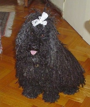 A dreaded black Puli is sitting on a hardwood floor and it is looking up and forward. It is wearing a white ribbon in its top knot. Its mouth is open and its tongue is out.